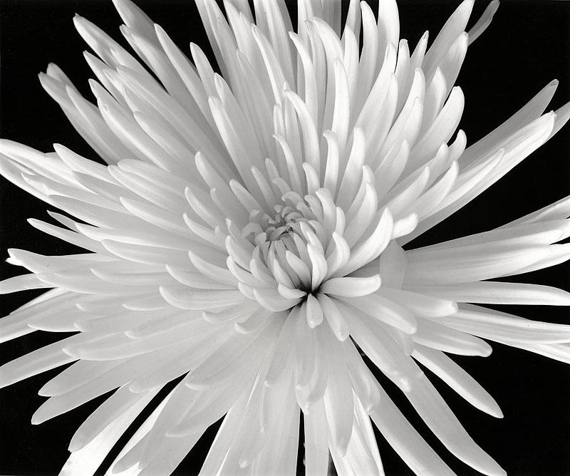 White Fuji Mum